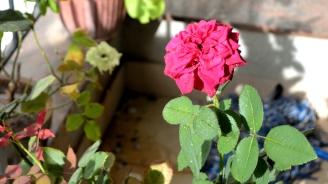 Rose20150609_08-0420150609_08-04